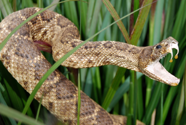 Snake Envenomation: Dispelling Myths and Misconceptions, Advancing Treatment Options